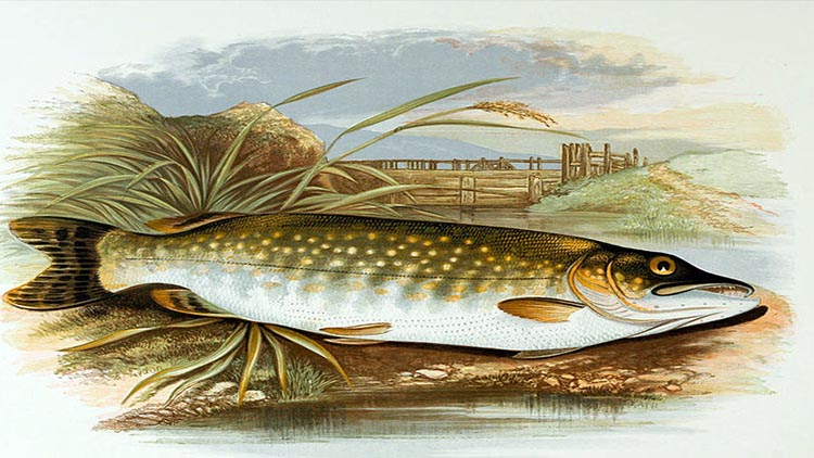 Pike in Åland