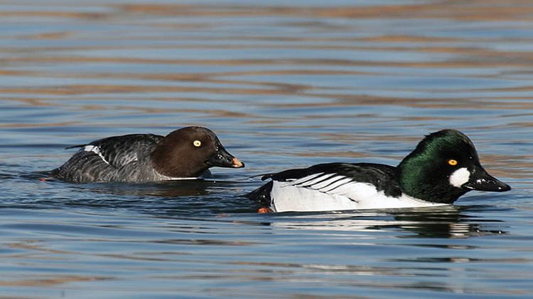 Goldeneye in Åland